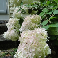Stages of the Limelight Hydrangea Flower